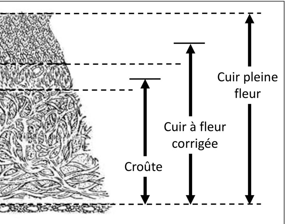 Identification_des_appellations_de_cuir_sur_section_de_Peau